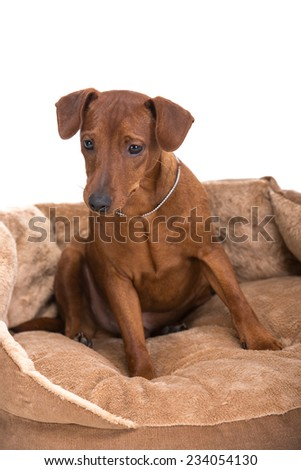 Image pinscher on a brown cushion for dogs on a white background. - stock photo