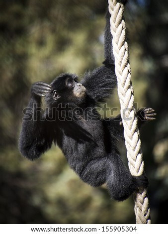 Image showing a young siamang ape climbing a rope for exercise - stock photo