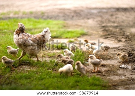 Image shows chicken searching for food, chicken series - stock photo
