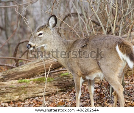 Image with a wild deer in the forest