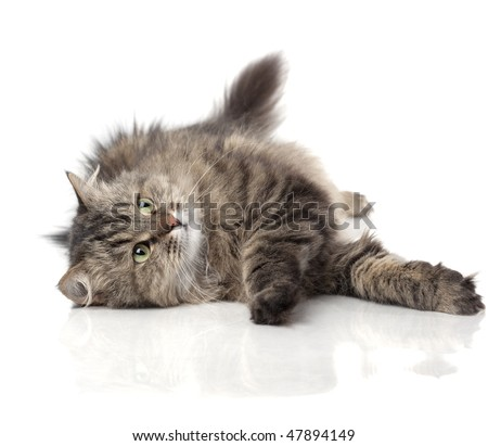 Images of beautiful fluffy funny cat on a white background - stock photo