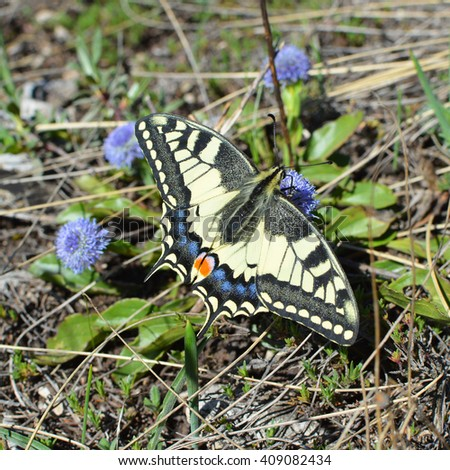 Imago of Papilio Machaon - colorful butterfly known also as swallowtail â?? closeup detail - stock photo