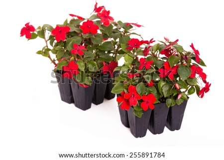 Imapatiens  (Impatiens wallerana)  transplants ready to plant in the home garden. On a white background. - stock photo