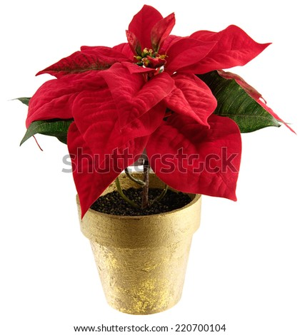Imitation silk poinsettia plant for holiday themes. Isolated on white.  - stock photo