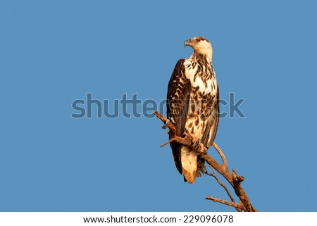 Immature African fish-eagle (Haliaeetus vocifer) perched on a branch against a blue sky, South Africa - stock photo