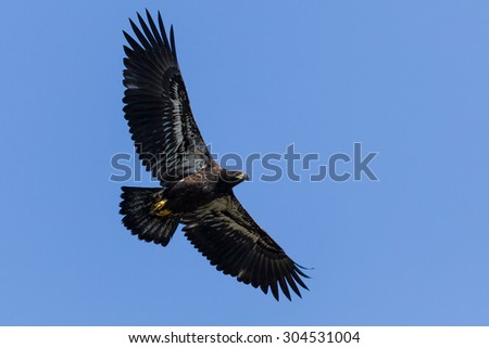 Immature Bald Eagle (Haliaeetus leucocephalus). Bald Eagle is a bird of prey found in North America.  - stock photo