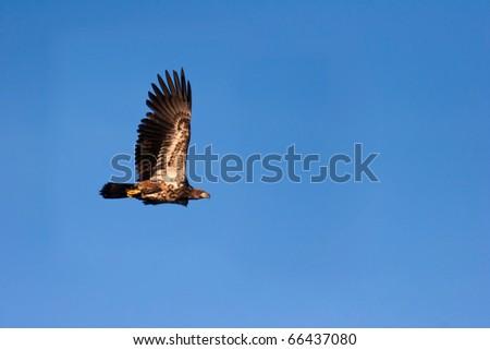 Immature Bald Eagle In Flight - stock photo