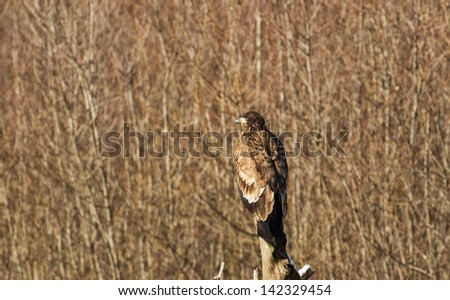 Immature Bald Eagle on a Branch