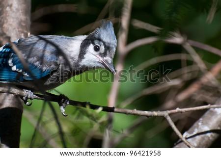 Immature Blue Jay in Tree - stock photo