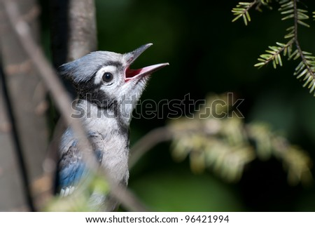 Immature Blue Jay Singing in Tree - stock photo