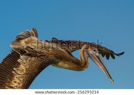 Immature brown pelican passing in flight with wings spread - stock photo