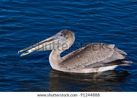 Immature Brown Pelican with fish
