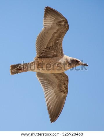 Immature California Gull (Larus californicus) flying - stock photo
