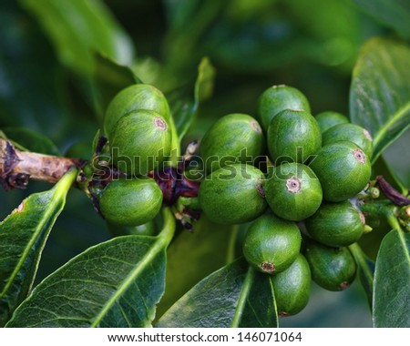 Immature coffee berries on branch. Photo taken at a coffee plantation in Boquete, Panama (Central America). - stock photo