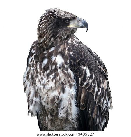 Immature female bald eagle on white - stock photo