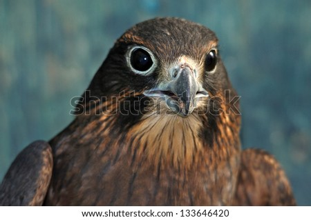 Immature female New Zealand Falcon, Falco novaeseelandiae, - stock photo