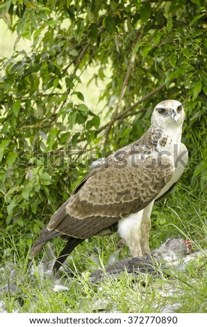 Immature martial eagle mantling prey, Masai Mara, Kenya - stock photo
