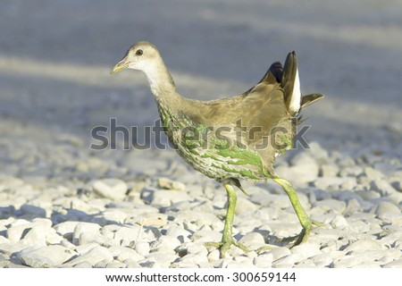 immature moorhen on the shore / Gallinula chloropus - stock photo
