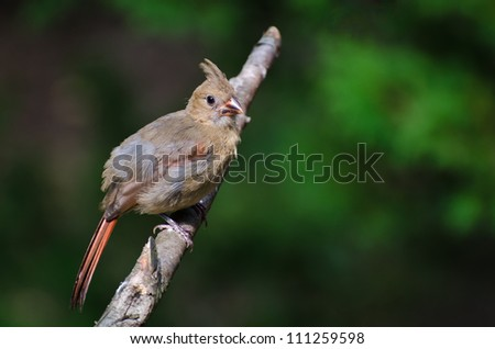 Immature Northern Cardinal Perched in a Tree - stock photo