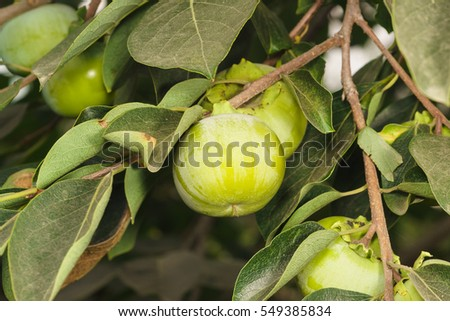 Immature persimmon fruit (lat. Diospyros) on a branch