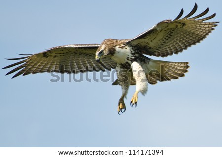 Immature Red Tailed Hawk Flying In a Blue Sky - stock photo