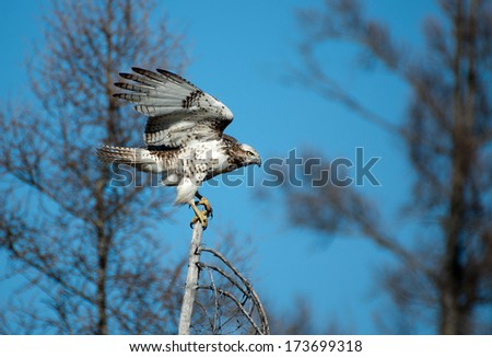 Immature Red-tailed Hawk - Manitoba - stock photo