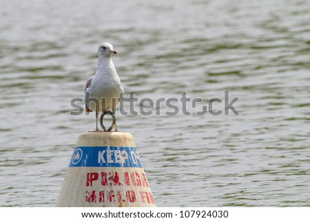 Immature Ring-billed Gull, Larus delawarensis, perched on buoy - stock photo