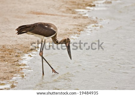 Immature Saddle-billed stork; Ephippiorhynchus senegalensis; South Africa