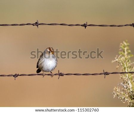 Immature White-crowned Sparrow on a barbed-wire fence in fall - stock photo