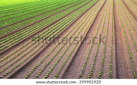 immense field of salad just sprouts grown - stock photo