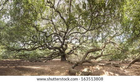 immense live oak tree with spreading branches - stock photo