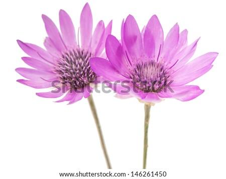 Immortelle Flowers Stock Photos Immortelle Flowers Stock