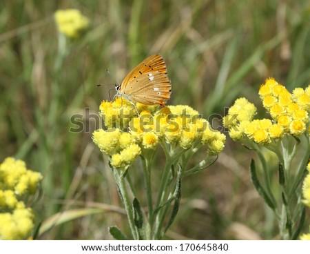 Immortelle - Helichrysum arenarium is also known as dwarf everlast with butterfly, Lycaena virgaureae .  - stock photo