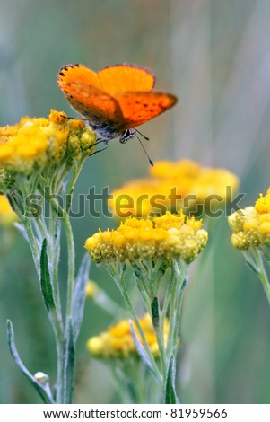 Immortelle - Helichrysum arenarium is also known as dwarf everlast with red butterfly - stock photo