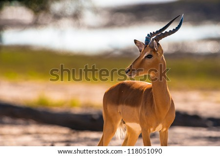 Impala (Aepyceros melampus) in Chobe National Park, Botswana - stock photo