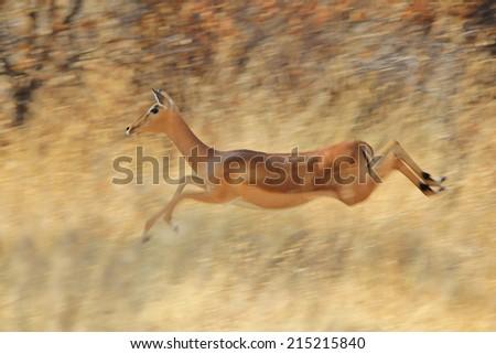 Impala - African Wildlife Background - Blur of Speed - stock photo