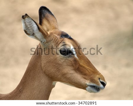 Impala antelope, female