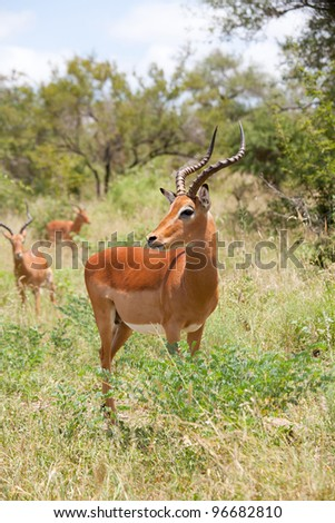 impala antelope in the savanna (Kruger Park) - stock photo