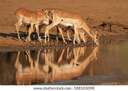 Impala antelopes (Aepyceros melampus) drinking water, Pilanesberg National Park, South Africa - stock photo