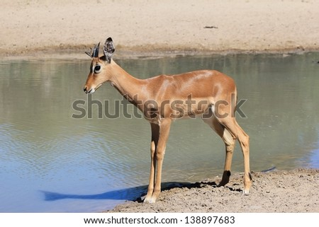 Impala, common - Wildlife from Africa - A young ram poses for a portrait of color, shadow and innocent intend as he approaches a watering hole in Namibia.