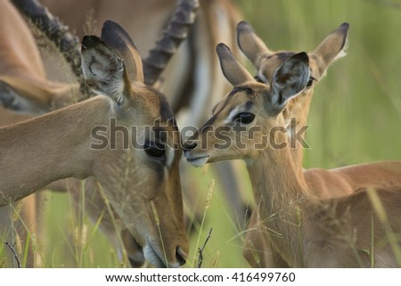 Impala female with calf. Kruger National Park. South Africa. - stock photo