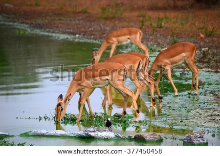 Impala from National park Kruger - South Africa