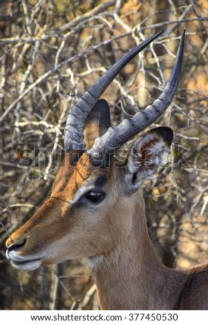 Impala from National park Kruger - South Africa - stock photo