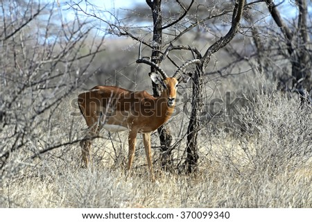 Impala gazelle in the African savannah in the wild - stock photo