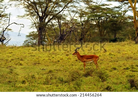 Impala gazelle in their natural habitat in the African savannah - stock photo