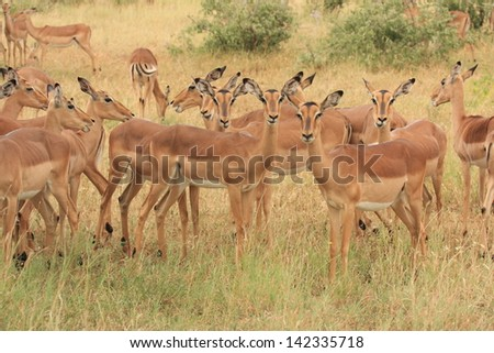 impala gazelle mammal wildlife African continent kruger national park south africa wild eco-tourism and solidarity - stock photo