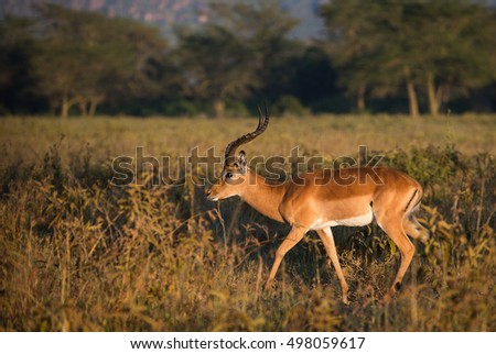 Impala goat in the morning light on african savannah