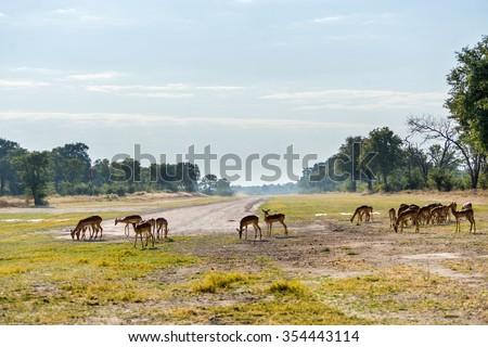 Impala herd grazing near Xakanaxa airstrip in Moremi game reserve national park. Botswana, Africa. - stock photo