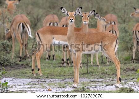 Impala herd in the rain. - stock photo