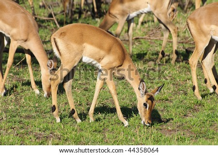 Impala in Hluhluwe Game Reserve - South Africa - stock photo